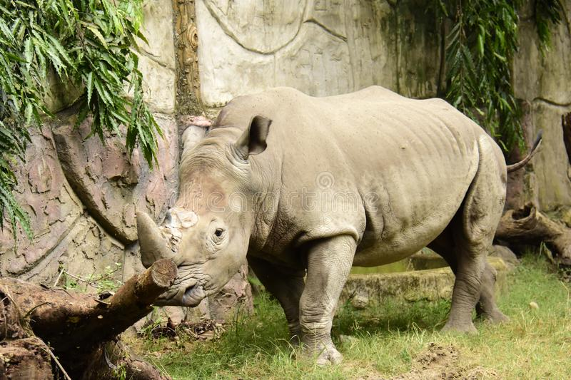 Rhino, White Ceratotherium simum. One of Africa's most endangered animals being poached for its horn, found in sub-Saharan Africa stock photo