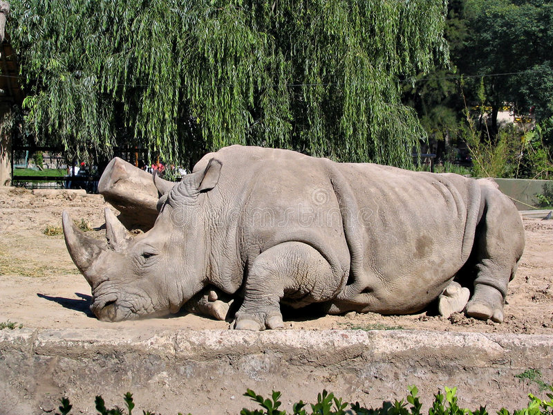 Download Rhino in zoo 2 stock photo. Image of mammal, frontal, comfort - 784196