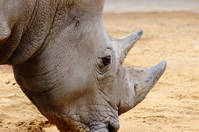 Rhino in zoo in germany in augsburg royalty free stock image