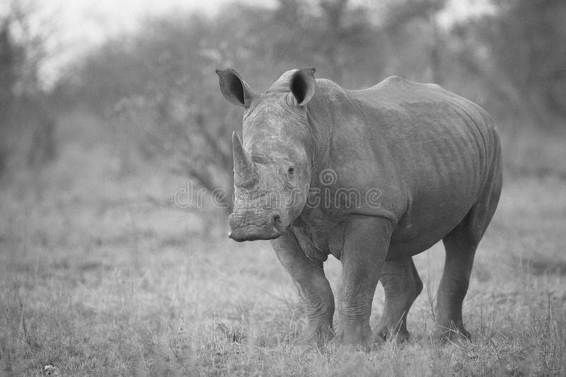 rhinocéros photographie stock