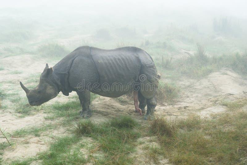 Rhinocéros avec le pénis droit photo stock
