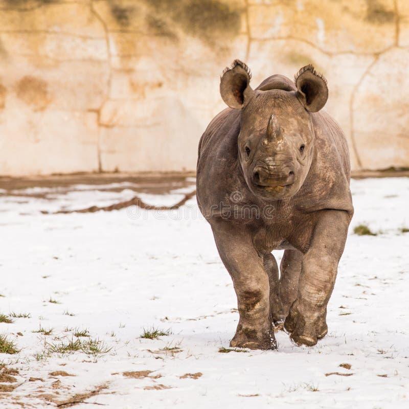 Rhinocéros - bicornis de Diceros image stock