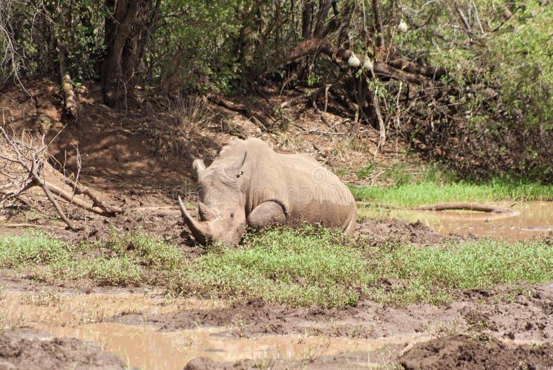 Rhinocéros blanc à la réservation de jeu de Pilanesberg, Afrique du Sud photographie stock