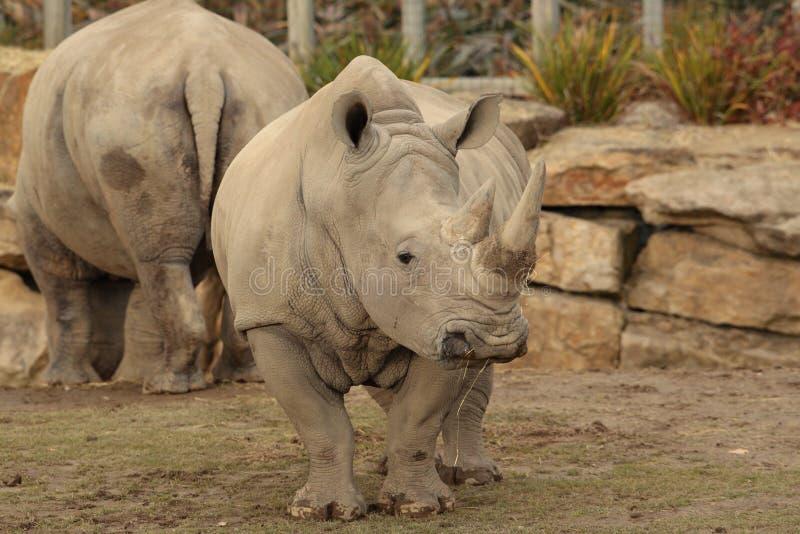 Rhinocéros blanc. images libres de droits