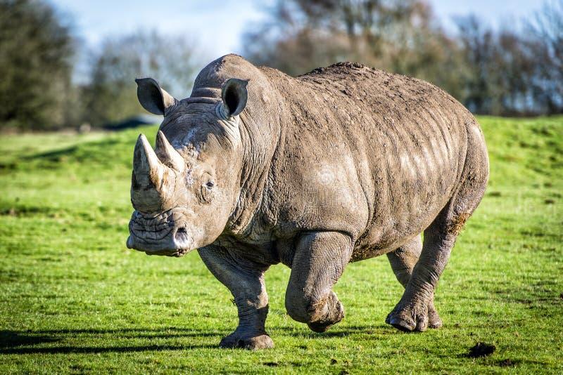 Rhinocéros blanc photo libre de droits