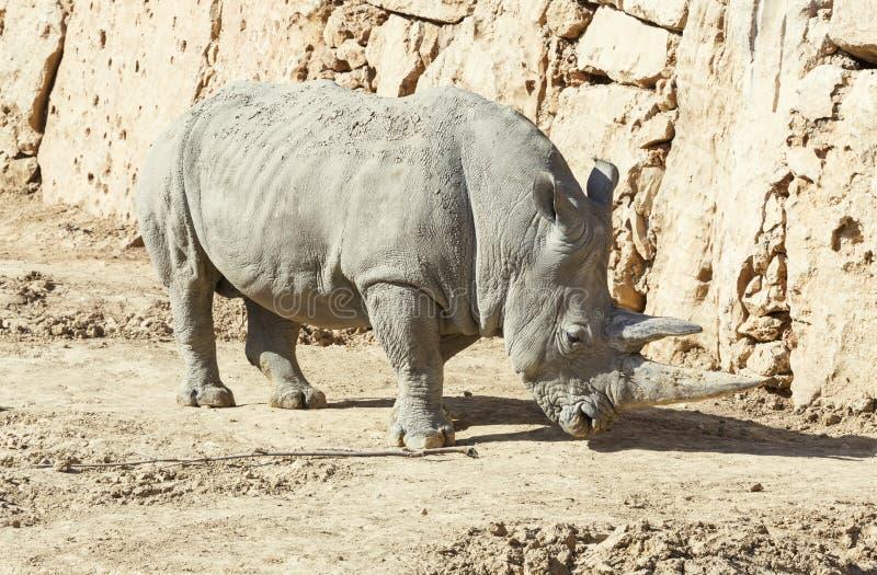 Rhinocéros blanc dans le sauvage photos libres de droits