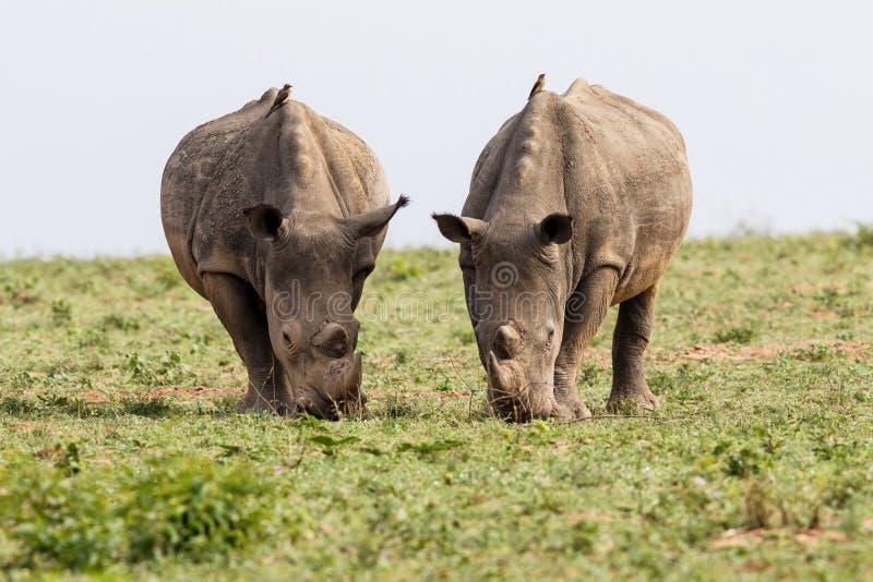 Rhinocéros blanc en Afrique du Sud image libre de droits