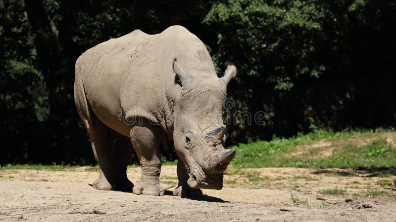 Rhinocéros blanc et x28 ; Simum de simum de Ceratotherium et x29 ; au ZOO Zlin, République Tchèque images stock