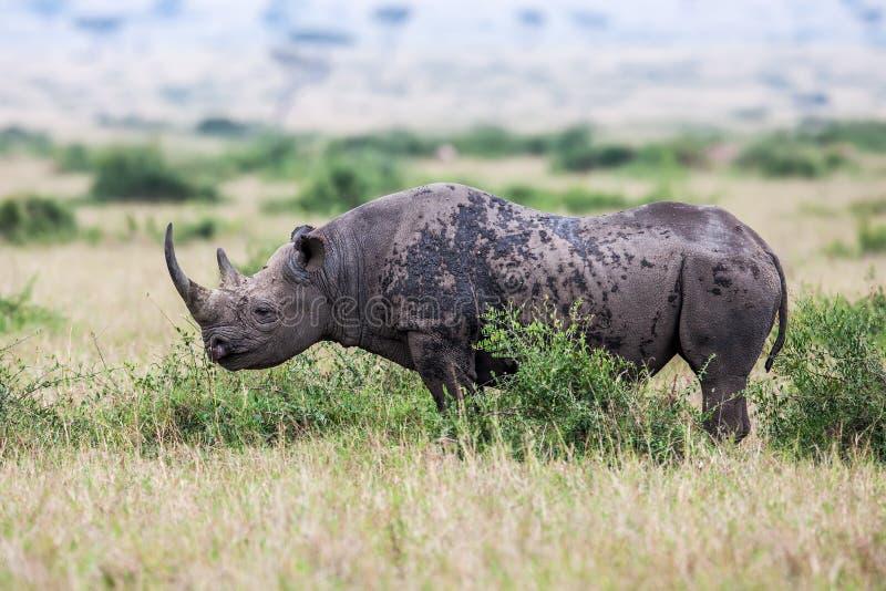 Rhinocéros blanc frôlant dans le sauvage, Afrique photographie stock