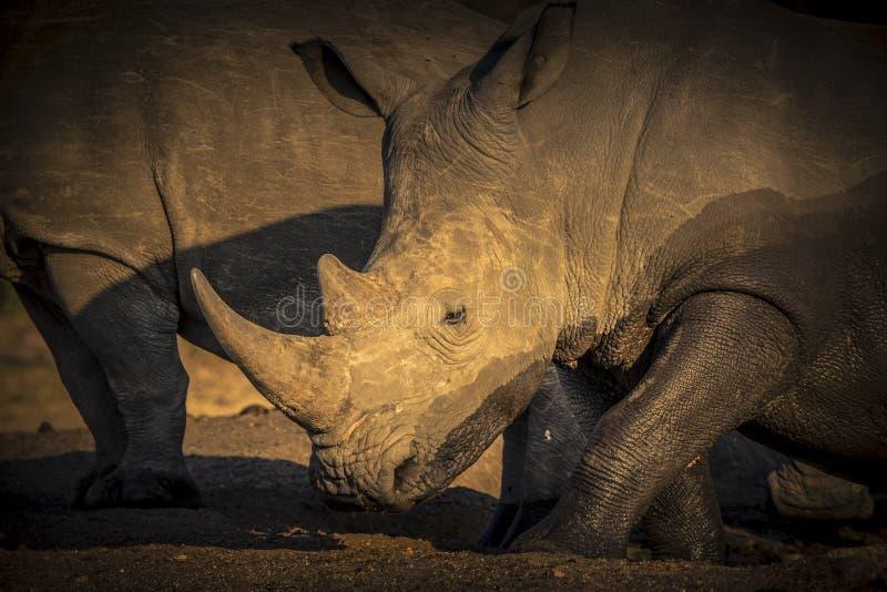 Rhinocéros blanc mis en danger sauvage et x28 ; Simum& x29 de Ceratotherium ; en Afrique images libres de droits