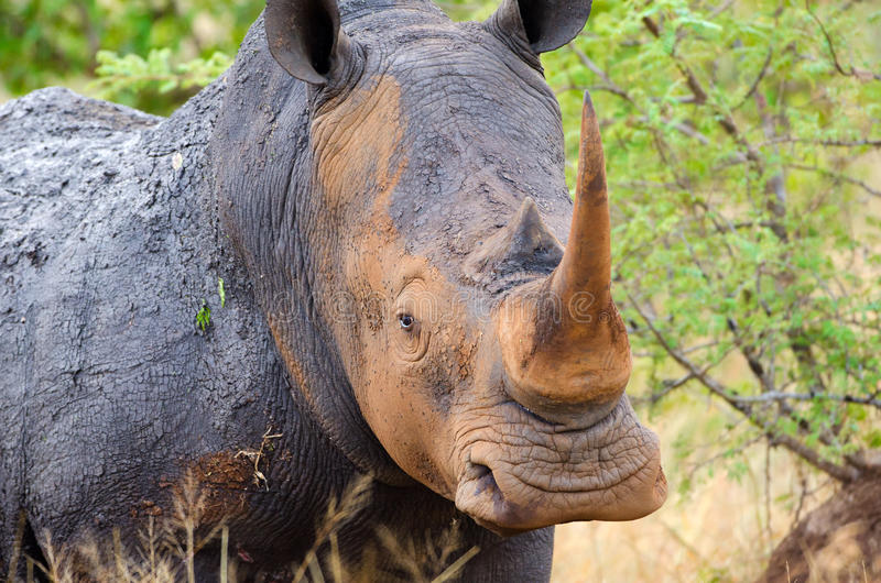 Rhinocéros blanc, parc national de Kruger, Afrique du Sud image stock