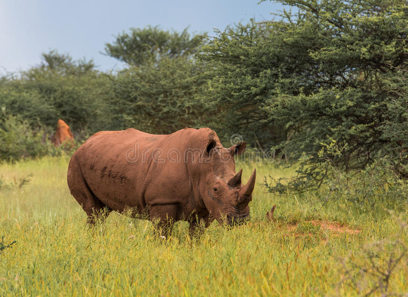 Rhinocéros blanc, parc national de plateau de Waterberg, Namibie image stock
