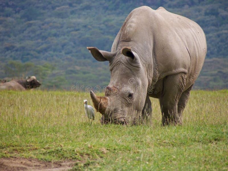Rhinocéros blanc sauvage frôlant l'herbe avec le hegret de bétail photo stock