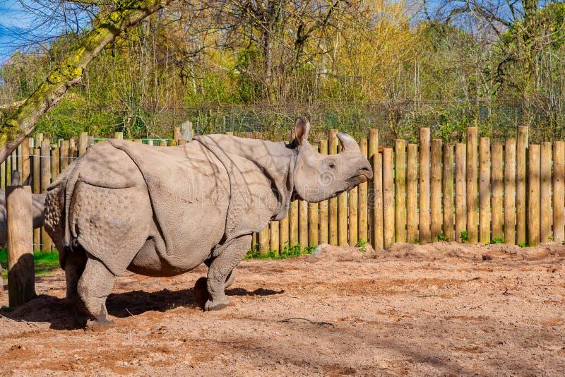 Rhinocéros blanc se tenant au soleil photo libre de droits