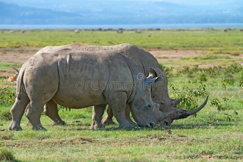 Rhinocéros blancs image libre de droits
