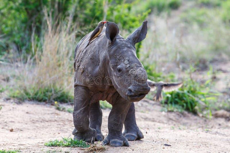 Rhinocéros de bébé avec l'oxpecker image libre de droits