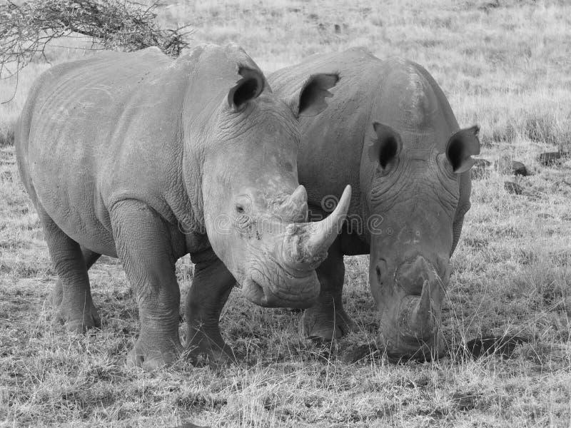 Rhinocéros de deux blancs dans la sépia images stock