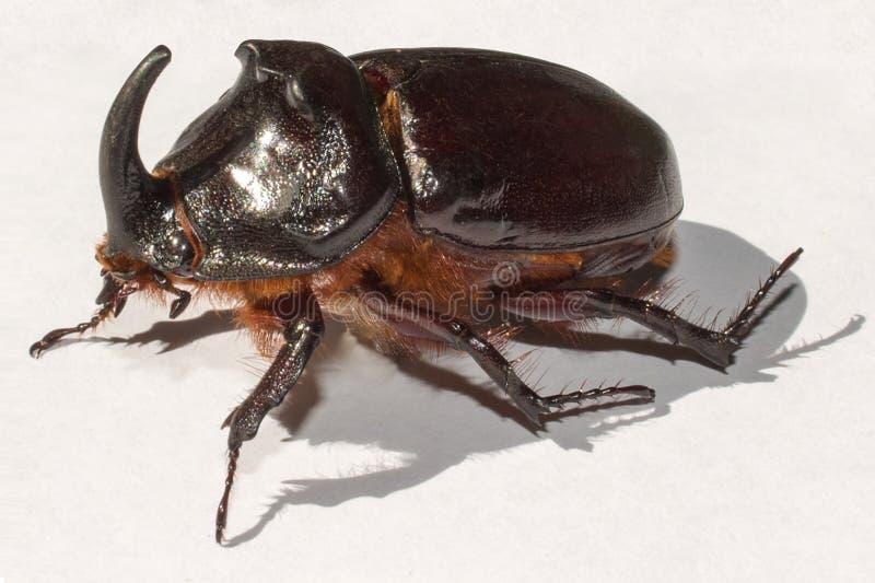 Rhinocéros de scarabée sur le fond blanc, macro photo libre de droits