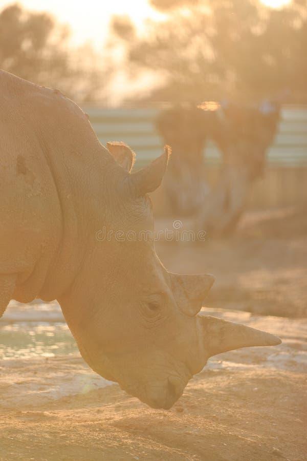 Rhinocéros de Sunny White photos stock