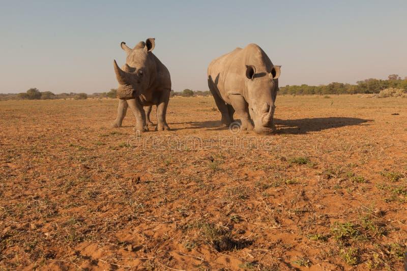Rhinocéros de Wideangel en Afrique images libres de droits
