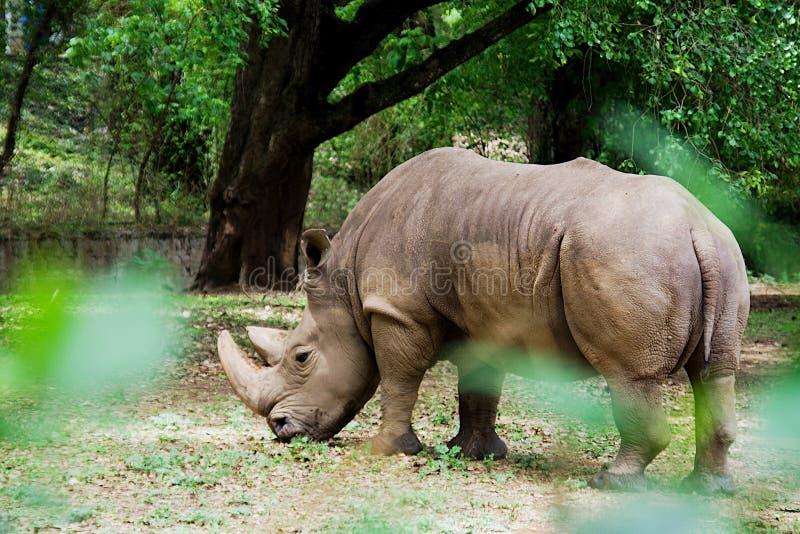 Rhinocéros derrière le feuillage, Mysuru photographie stock