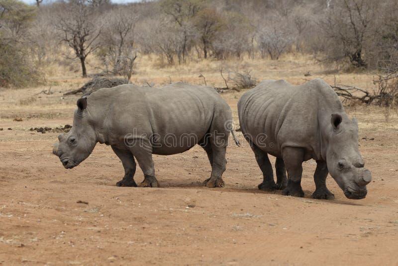 Rhinocéros deux avec les klaxons coupés à protéger contre pocher image libre de droits