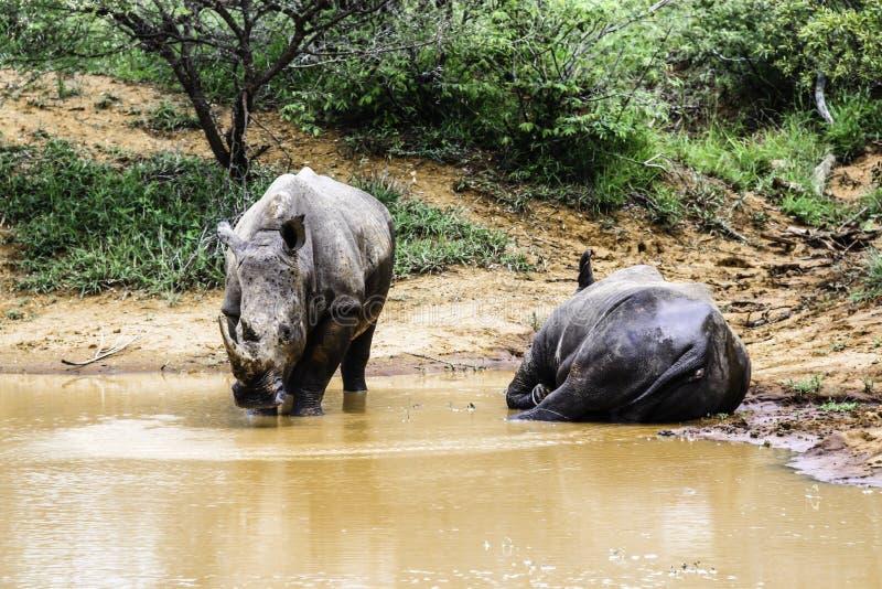 Rhinocéros deux blanc du sud en parc national de Kruger de l'eau images libres de droits