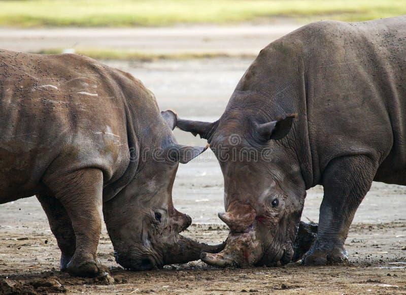 Rhinocéros deux combattant les uns avec les autres kenya Stationnement national l'afrique photographie stock