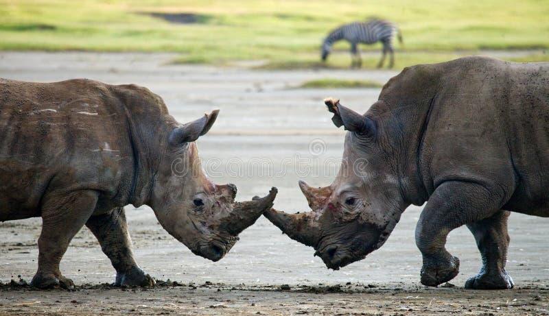 Rhinocéros deux combattant les uns avec les autres kenya Stationnement national l'afrique photos libres de droits