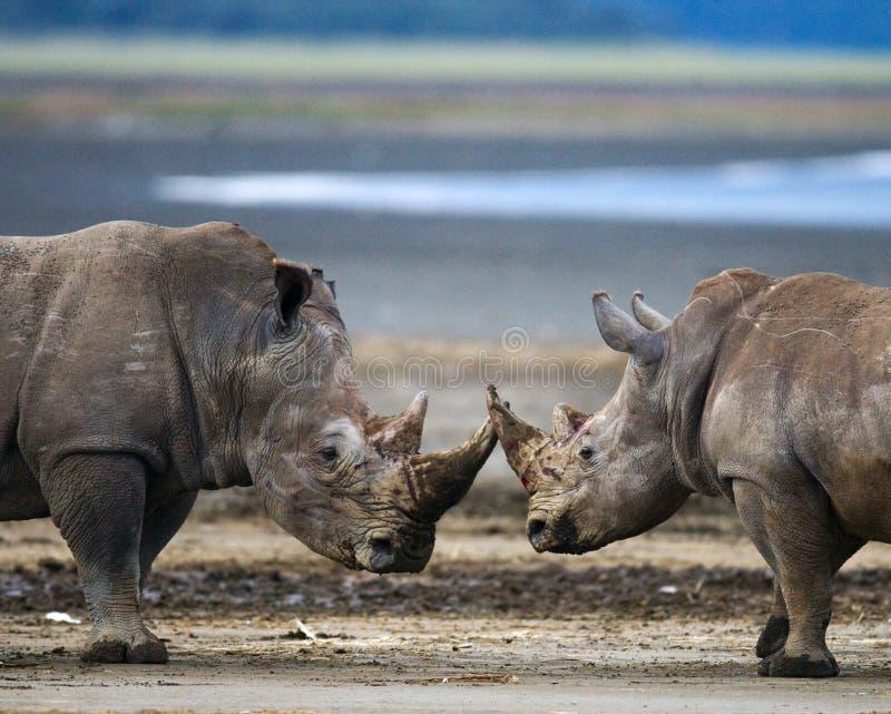 Rhinocéros deux combattant les uns avec les autres kenya Stationnement national l'afrique images stock