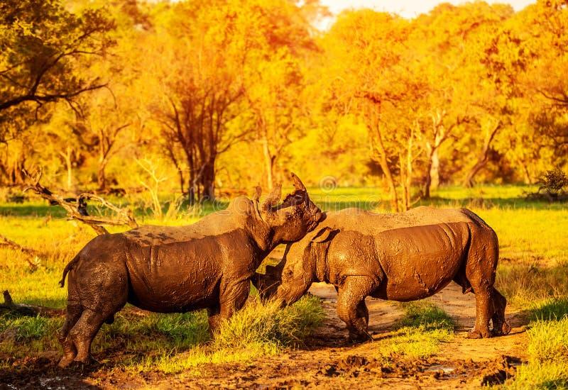 Rhinocéros deux de combat image stock