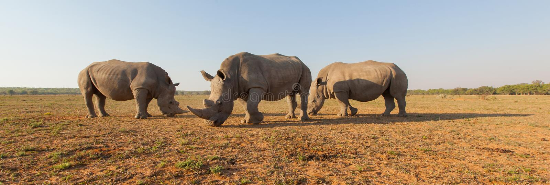 Rhinocéros en Afrique photo libre de droits