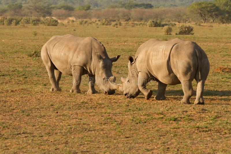 Rhinocéros en Afrique images libres de droits