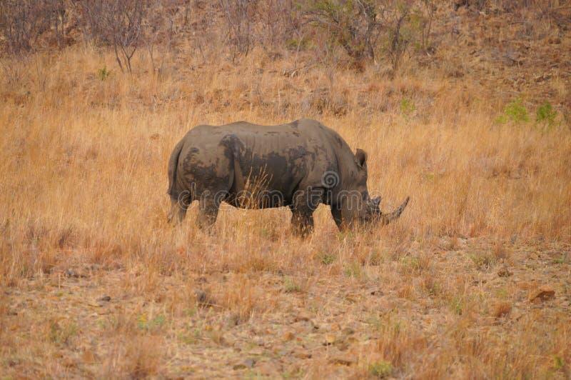 Rhinocéros en nature, parc national de Pilanesberg, Afrique du Sud images libres de droits