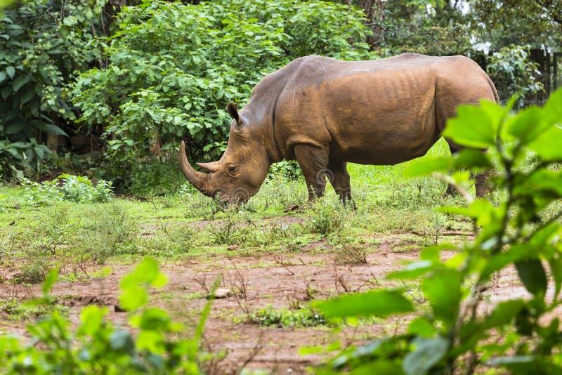Rhinocéros en parc national de Nairobi, Kenya photos libres de droits