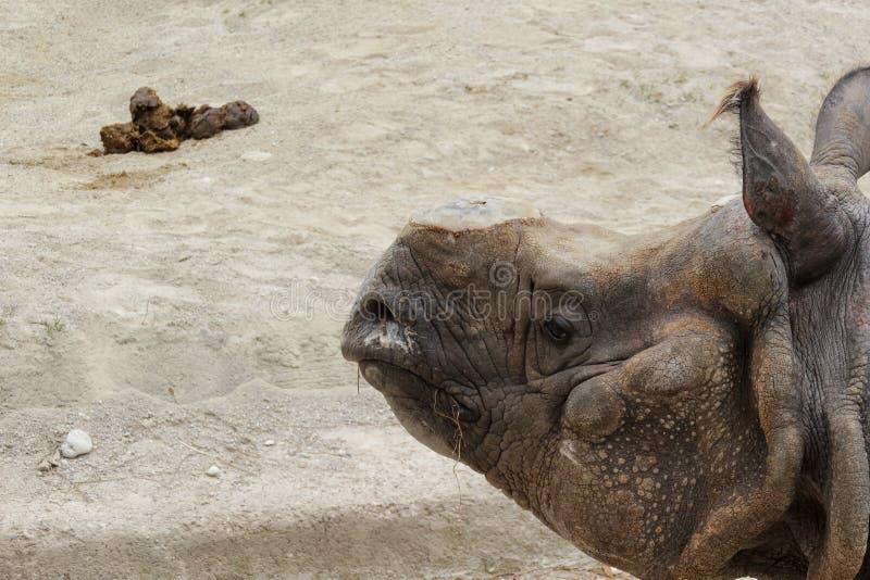 Rhinocéros et excrément image libre de droits