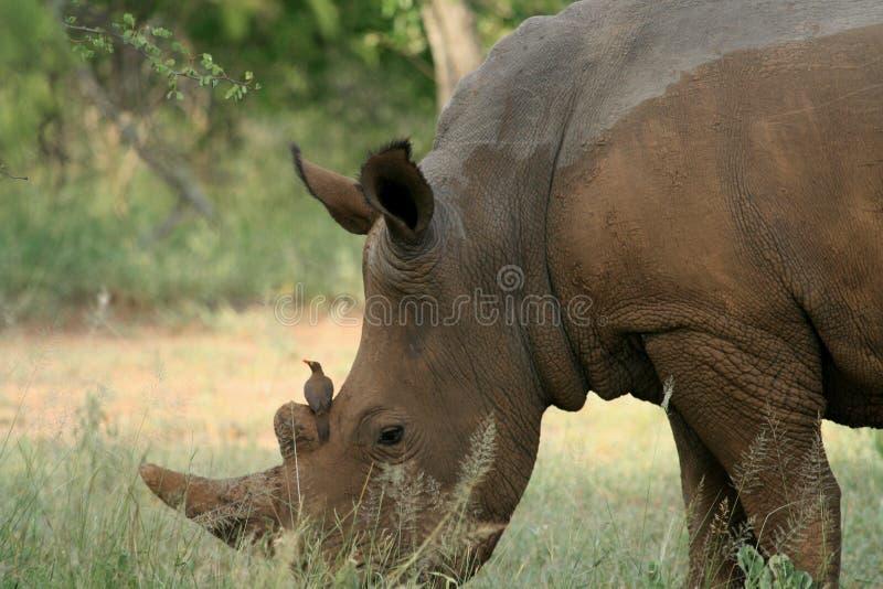 Rhinocéros et oiseau image stock