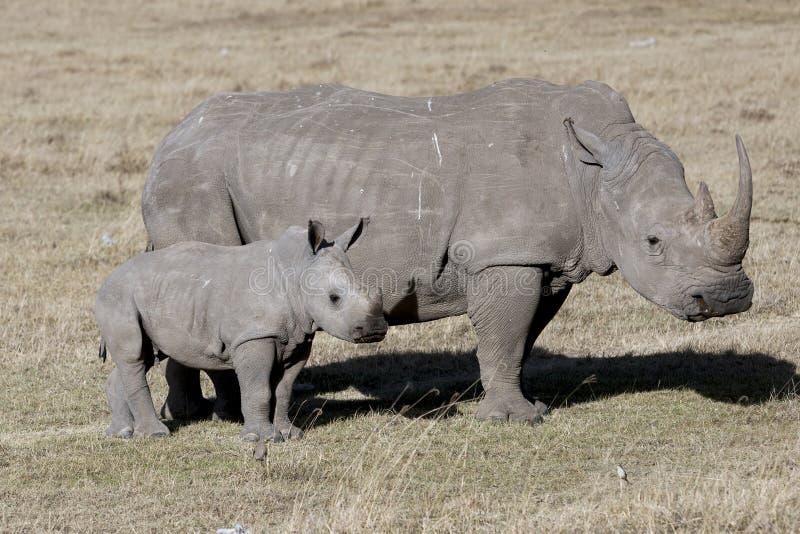 Rhinocéros femelle avec l'petit animal se tenant dans la savane africaine images libres de droits