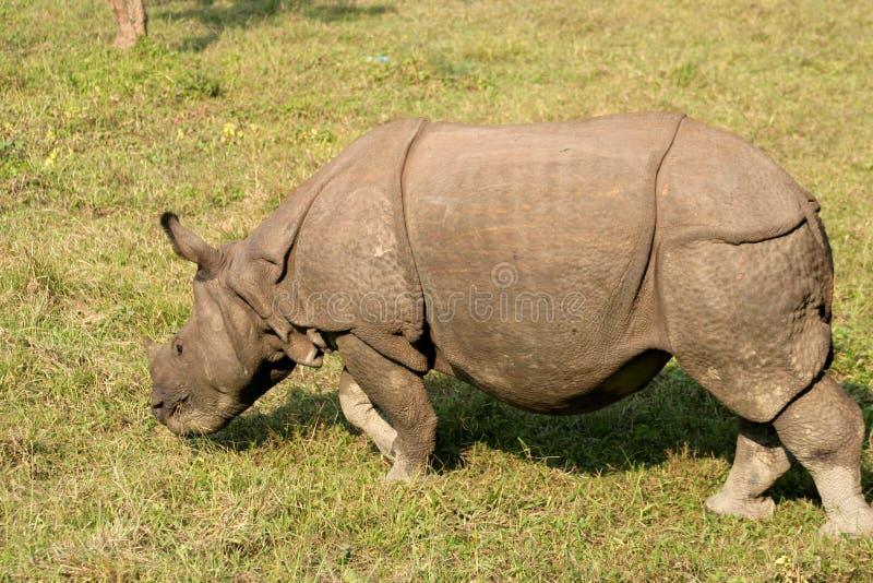 Rhinocéros indien image libre de droits