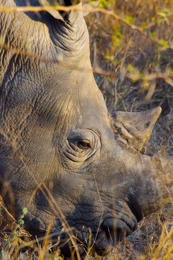rhinocéros Large-labié ou blanc en parc national de Kruger images stock