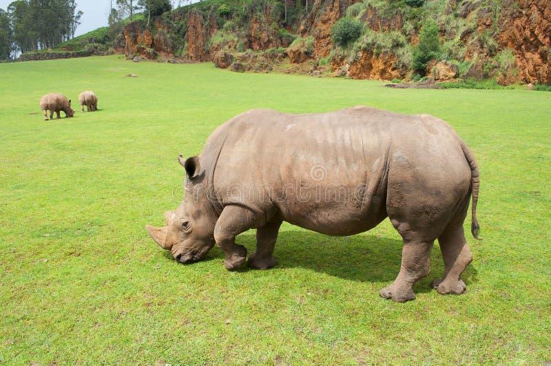 Rhinocéros mangeant l'herbe paisiblement, Cabarceno images libres de droits