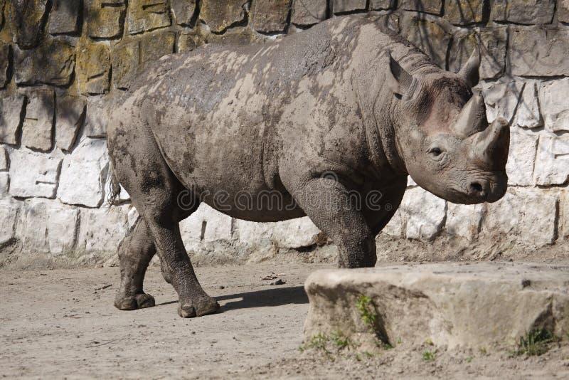 Rhinocéros noir dans le zoo de Dvur Kralove photo stock