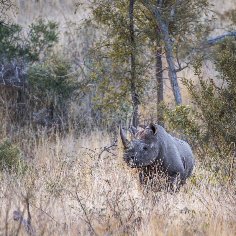 Rhinocéros noir en parc national de Kruger, Afrique du Sud images stock