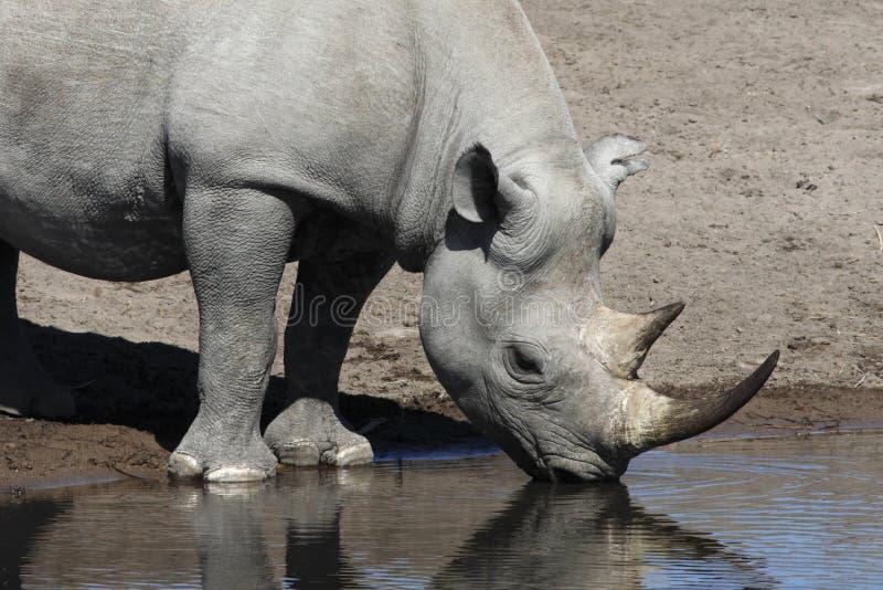 Rhinocéros noir - Namibie image stock