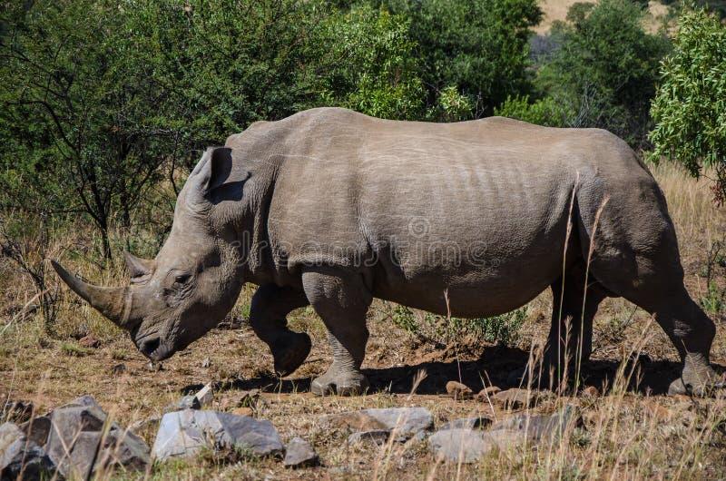 Rhinocéros noir sauvage errant dans la réserve naturelle de Pilanesberg image stock