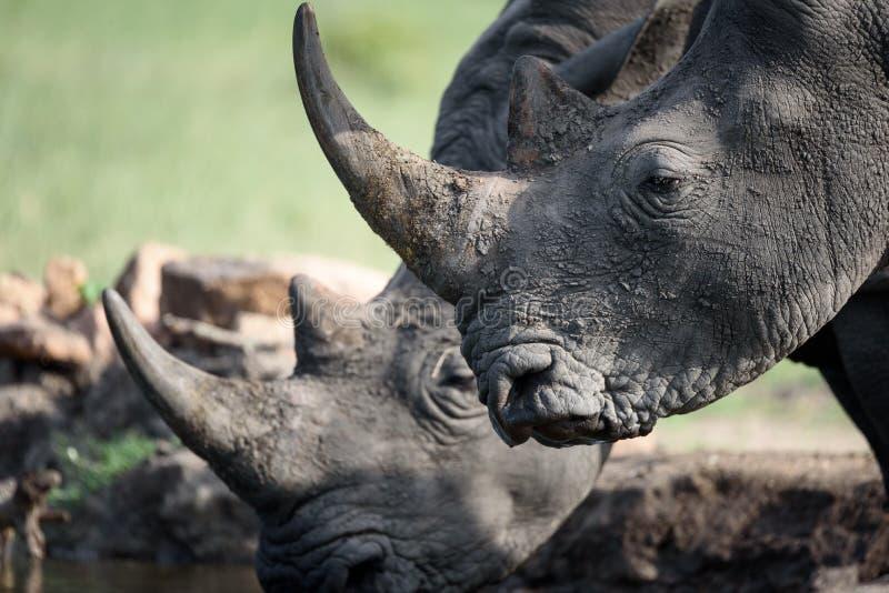 Rhinocéros potable photographie stock libre de droits