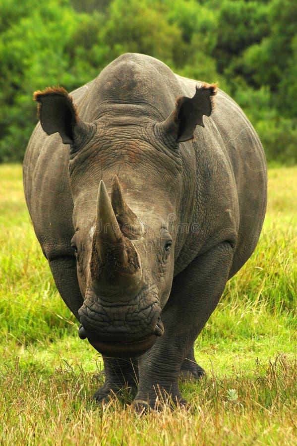 Rhinocéros - rhinocéros images stock