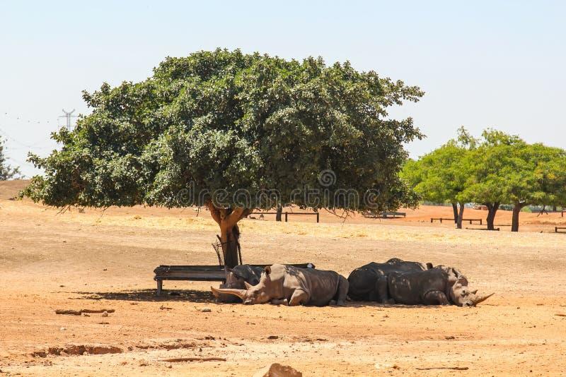 Rhinocéros se reposant à la nuance d'un arbre en Israël photographie stock libre de droits