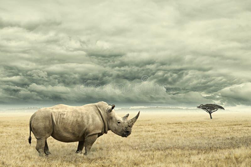Rhinocéros se tenant dans le savana africain sec avec les nuages dramatiques lourds ci-dessus image libre de droits