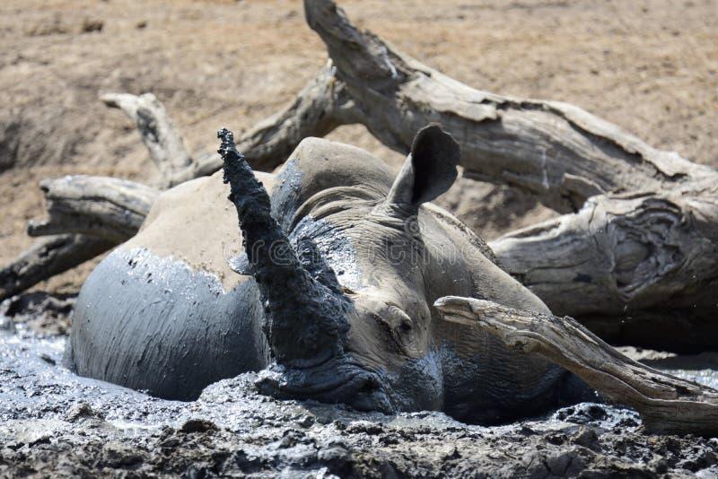 Rhinocéros se vautrant dans la boue photographie stock
